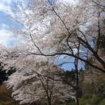 釜ケ滝駐車場前の桜満開