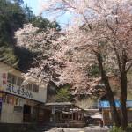 滝茶屋(たきちゃや)前の桜