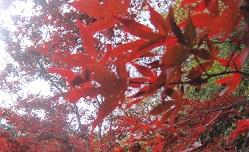 滝茶屋紅葉①